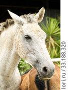 Купить «White mare», фото № 33188320, снято 27 февраля 2020 г. (c) PantherMedia / Фотобанк Лори