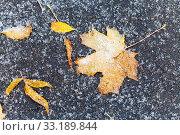 Купить «frozen orange fallen leaves under first snow», фото № 33189844, снято 27 мая 2020 г. (c) PantherMedia / Фотобанк Лори