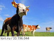 Купить «brown cattle and simmentaler cattle in the pasture», фото № 33196044, снято 21 февраля 2020 г. (c) PantherMedia / Фотобанк Лори