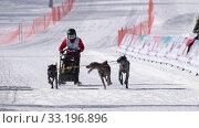Купить «Male child mushing sled dog team, runs on distance Sled Dog Racing Competitions», видеоролик № 33196896, снято 20 февраля 2020 г. (c) А. А. Пирагис / Фотобанк Лори
