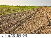 Купить «Agricultural field with rows of small plants», фото № 33198008, снято 26 мая 2020 г. (c) PantherMedia / Фотобанк Лори