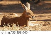 Купить «Red Kangaroo, Australien», фото № 33198040, снято 21 февраля 2020 г. (c) PantherMedia / Фотобанк Лори