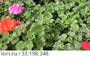 Купить «Closeup of colorful blooming geranium flowers grown in pots in greenhouse on background of foliage greenery», видеоролик № 33198348, снято 8 ноября 2019 г. (c) Яков Филимонов / Фотобанк Лори