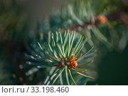 Купить «Defocus spring background of young branches with needles of blue spruce», фото № 33198460, снято 13 апреля 2017 г. (c) katalinks / Фотобанк Лори