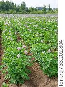Купить «Цветущее картофельное поле в сельской местности», фото № 33202804, снято 14 июля 2018 г. (c) Елена Коромыслова / Фотобанк Лори