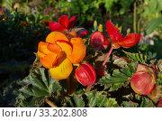 Бегония Пикоти красно-желтая (лат. Begonia picotee red yellow) цветет в летнем саду. Стоковое фото, фотограф Елена Коромыслова / Фотобанк Лори