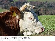 Купить «Cattle Samerberg», фото № 33207916, снято 2 июля 2020 г. (c) PantherMedia / Фотобанк Лори
