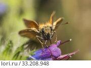 Купить «rust colored thick head switch (ochlodes sylvanus)», фото № 33208948, снято 26 февраля 2020 г. (c) PantherMedia / Фотобанк Лори