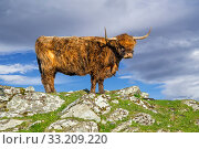 Купить «Highland cow (Bos taurus) portrait in the Scottish Highlands, Scotland, UK. Digital composite», фото № 33209220, снято 29 марта 2020 г. (c) Nature Picture Library / Фотобанк Лори