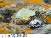 Predated egg shells of razorbill (Alca torda) broken and eaten by herring gull or great skua in spring, Scotland, UK, June. Стоковое фото, фотограф Philippe Clement / Nature Picture Library / Фотобанк Лори