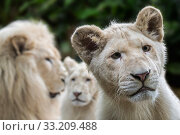 Купить «Leucistic white lions (Panthera leo krugeri) male and juveniles, Captive.», фото № 33209488, снято 27 марта 2020 г. (c) Nature Picture Library / Фотобанк Лори