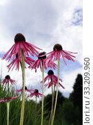 Купить «coneflower flowers», фото № 33209960, снято 9 июля 2020 г. (c) PantherMedia / Фотобанк Лори