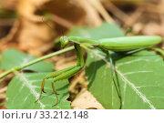 Зелёный богомол сидит на растение. Стоковое фото, фотограф Игорь Низов / Фотобанк Лори