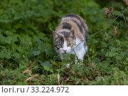 France, Alsace, Bas-Rhin, chat domestique / France, Alsace, Bas Rhin, domestic cat. Стоковое фото, фотограф Morales / age Fotostock / Фотобанк Лори
