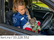 Senior Forest and Wildlife Officer Abby makes final arrangements to drive to Heaslville Sanctuary from East Sale RAAF Base, with a young rescued burn victim... Sale, Victoria, Australia.? January 2020. Editorial use only. Редакционное фото, фотограф Doug Gimesy / Nature Picture Library / Фотобанк Лори