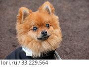 Купить «Magdeburg, Germany, portrait of Pomeranian», фото № 33229564, снято 9 ноября 2019 г. (c) Caro Photoagency / Фотобанк Лори