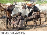 Купить «Belinkum, Gambela, Ethiopia - Traditional livestock breeders, Nuer», фото № 33229840, снято 31 октября 2019 г. (c) Caro Photoagency / Фотобанк Лори