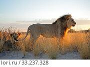 Купить «Big male African lions», фото № 33237328, снято 16 июля 2020 г. (c) PantherMedia / Фотобанк Лори