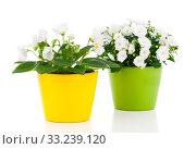 Купить «bellflowers (campanula) and saintpaulia», фото № 33239120, снято 2 июня 2020 г. (c) PantherMedia / Фотобанк Лори