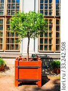 Купить «Фортунелла, цитрусовое дерево. Summer background.Kumquat fruit tree in Summer garden. Fortunella margarita kumquat tree, summer garden background», фото № 33242508, снято 6 июня 2019 г. (c) Зезелина Марина / Фотобанк Лори
