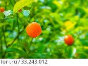 Купить «Фортунелла в летнем саду. Summer background. Kumquat fruits in summer garden, closeup. Fortunella japonica kumquats», фото № 33243012, снято 6 июня 2019 г. (c) Зезелина Марина / Фотобанк Лори