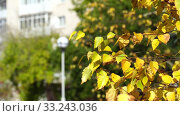 Купить «Branches of birch with yellow leaves on background of city house. Bright, sunny autumn day in city park. 4K close up video», видеоролик № 33243036, снято 4 апреля 2020 г. (c) Dmitry Domashenko / Фотобанк Лори