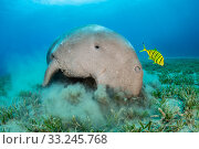 RF - Dugong (Dugong dugon) feeding on a seagrass meadow (Halophila stipulacea), accompanied by a young Golden trevally (Gnathanodon speciosus). Egypt.... Стоковое фото, фотограф Alex Mustard / Nature Picture Library / Фотобанк Лори