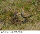 Купить «Golden plover (Pluvialis apricaria) female walking back to nest on Grouse Moor, Upper Teesdale, Durham, England. UK, June», фото № 33245928, снято 31 марта 2020 г. (c) Nature Picture Library / Фотобанк Лори