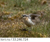 Купить «Wheatear (Oenanthe oenanthe) male showing aggression to protect territory on working Grouse Moor, Upper Teesdale, Co Durham, England, June», фото № 33246724, снято 5 апреля 2020 г. (c) Nature Picture Library / Фотобанк Лори