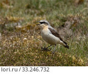 Купить «Wheatear (Oenanthe oenanthe) male singing from tussock on working Grouse Moor, Upper Teesdale, Co Durham, England, June», фото № 33246732, снято 5 апреля 2020 г. (c) Nature Picture Library / Фотобанк Лори