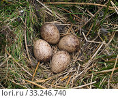 Купить «Woodcock (Scolopax rusticola) nest with four eggs amongst heather on working grouse moor, Upper Teesdale, Co Durham, England, UK, April», фото № 33246740, снято 31 марта 2020 г. (c) Nature Picture Library / Фотобанк Лори