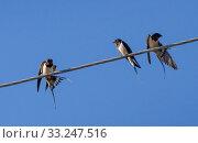 Купить «Three barn swallow», фото № 33247516, снято 1 июня 2020 г. (c) PantherMedia / Фотобанк Лори