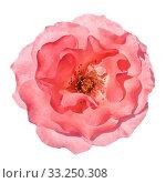 Купить «Isolated Pink Rose», фото № 33250308, снято 29 февраля 2020 г. (c) PantherMedia / Фотобанк Лори