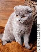 Купить «gray cat with yellow eyes Scottish Fold», фото № 33251508, снято 29 февраля 2020 г. (c) PantherMedia / Фотобанк Лори