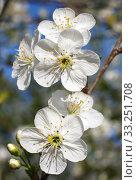 Купить «white flowers blooming on branch», фото № 33251708, снято 29 февраля 2020 г. (c) PantherMedia / Фотобанк Лори