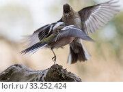 Купить «old and young chaffinch in quarrel», фото № 33252424, снято 31 мая 2020 г. (c) PantherMedia / Фотобанк Лори