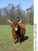 Купить «Scottish Highland cattle on a meadow,blue cloudless skies», фото № 33261916, снято 3 июля 2020 г. (c) PantherMedia / Фотобанк Лори