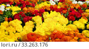 Купить «A dense flowerbed full of colourful ranuncles», фото № 33263176, снято 2 апреля 2020 г. (c) PantherMedia / Фотобанк Лори