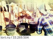 Купить «woman care feeds two week old calf from bottle with dummy», фото № 33269504, снято 24 октября 2017 г. (c) Татьяна Яцевич / Фотобанк Лори
