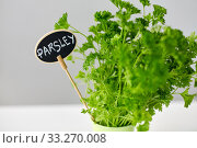 Купить «green parsley herb with name plate in pot on table», фото № 33270008, снято 12 июля 2018 г. (c) Syda Productions / Фотобанк Лори