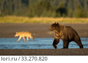 Wolf (Canis lupus) and Grizzly Bear (Ursus arctos). Lake Clark National Park, Alaska, September. Стоковое фото, фотограф Danny Green / Nature Picture Library / Фотобанк Лори