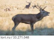 Купить «Red deer (Cervus elaphus) bellowing, Richmond Park, London, England, UK. October.», фото № 33271048, снято 9 апреля 2020 г. (c) Nature Picture Library / Фотобанк Лори