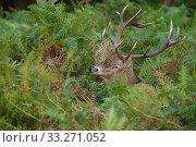 Купить «Red deer (Cervus elaphus) stag with vegetation in antlers during rut, Richmond Park, London, England, UK. October.», фото № 33271052, снято 11 июля 2020 г. (c) Nature Picture Library / Фотобанк Лори