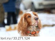 Купить «Portrait of a hunting dog spaniel», фото № 33271124, снято 15 февраля 2020 г. (c) Яна Королёва / Фотобанк Лори