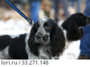 Купить «Portrait of a hunting dog breed purebred spaniel», фото № 33271148, снято 15 февраля 2020 г. (c) Яна Королёва / Фотобанк Лори