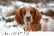 Купить «Portrait of a hunting dog breed purebred spaniel», фото № 33271156, снято 15 февраля 2020 г. (c) Яна Королёва / Фотобанк Лори