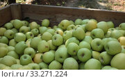 Freshly harvested green apples in big wooden crate in orchard. Стоковое видео, видеограф Яков Филимонов / Фотобанк Лори