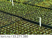 Background - tiny plant sprouts in a seedling trays. Стоковое фото, фотограф Евгений Харитонов / Фотобанк Лори