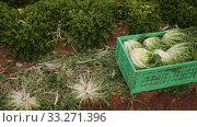 Купить «Harvest of green lettuce in crates during harvesting in garden, no people», видеоролик № 33271396, снято 18 января 2020 г. (c) Яков Филимонов / Фотобанк Лори