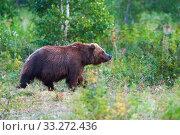 Купить «Kamchatka brown bear Ursus arctos piscator in natural habitat, walks in summer forest. Kamchatka Peninsula», фото № 33272436, снято 20 августа 2019 г. (c) А. А. Пирагис / Фотобанк Лори